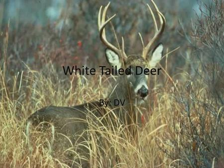 White Tailed Deer By: DV. Family Genus: Odocoileinae Species family: White Tailed Deer Species: Mammalia.