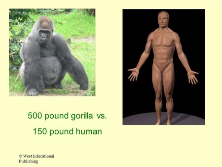 500 pound gorilla vs. 150 pound human © West Educational Publishing.