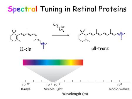 Spectral Tuning in Retinal Proteins h 11-cis all-trans.