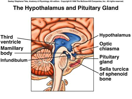Hypothalamus GHRH (+) GHIH ( - ) Pituitary Sleep Stress Exercise Limbic structures Metabolic signals Glucocorticoids GH somatotropin.