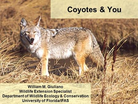Coyotes & You William M. Giuliano Wildlife Extension Specialist Department of Wildlife Ecology & Conservation University of Florida/IFAS.