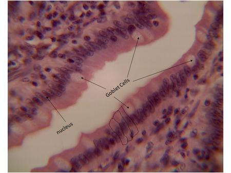 Goblet Cells nucleus. When we look at a cross section of the trachea we can see two tissues as well. Pseudostratified ciliated columnar epithelium Hyaline.