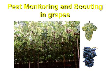 Pest Monitoring and Scouting in grapes. Introduction An ecological approach to managing pests in agricultural crops is known as Integrated Pest Management.