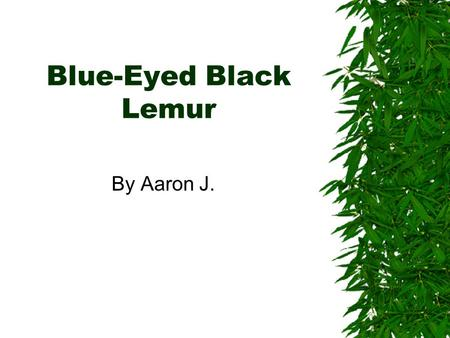 Blue-Eyed Black Lemur By Aaron J. Introduction  What has blue eyes, black or tanish fur, and looks like a monkey? A blue eyed black lemur, of course!