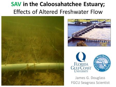 SAV in the Caloosahatchee Estuary; Effects of Altered Freshwater Flow James G. Douglass FGCU Seagrass Scientist.