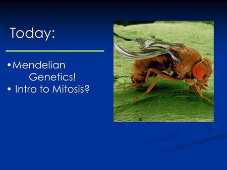 "Today: Mendelian Genetics! Intro to Mitosis?. Gregor Mendel, 1822-1884 The ""Father"" of Genetics?"