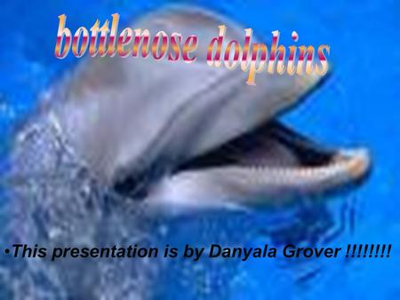 This presentation is by Danyala Grover !!!!!!!!. Bottlenose dolphins don't chew their food instead they swallow the food whole. The food bottlenose dolphins.