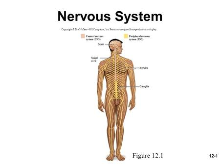 12-1 Nervous System Copyright © The McGraw-Hill Companies, Inc. Permission required for reproduction or display. Brain Nerves Ganglia Peripheral nervous.