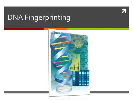  DNA Fingerprinting. Variation in Human DNA  Of 3 billion nucleotides in human DNA more than 99% are identical  Of 1% that are different  significant.