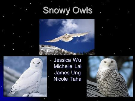 Snowy Owls Jessica Wu Michelle Lai James Ung Nicole Taha.