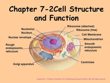 Chapter 7-2Cell Structure and Function Image from: © Pearson Education Inc, Publishing as Pearson Prentice Hall; All rights reserved Nucleolus Nucleus.