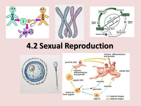 4.2 Sexual Reproduction. Agenda Asexual vs Sexual reproduction Haploid and Diploid cells Meiosis: outcomes & differences from mitosis How gametes are.