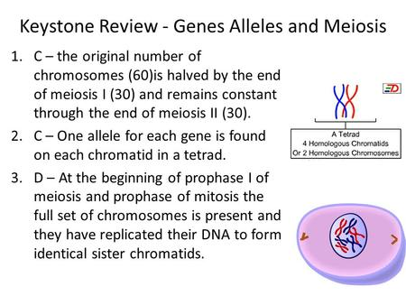 Keystone Review - Genes Alleles and Meiosis 1.C – the original number of chromosomes (60)is halved by the end of meiosis I (30) and remains constant through.