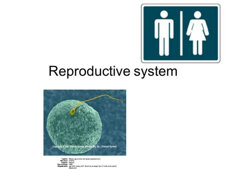 Reproductive system. Human reproductive system –Produces, stores, nourishes and transports functional gametes Fertilization –Fusion of sperm and immature.