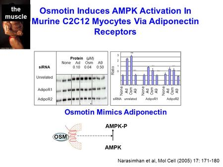 SiRNA unrelated AdipoR1 AdipoR2 None Ad Osm A9 None Ad Osm A9 None Ad Osm A9 Ratio 32103210 ** Protein (μM) None Ad Osm A9 0.10 0.04 0.50 siRNA Unrelated.