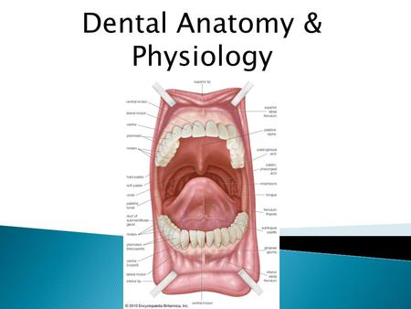 Dental Anatomy & Physiology. Anatomy of the Skull  Jaw Bone  – Maxilla upper  – Mandible lower.