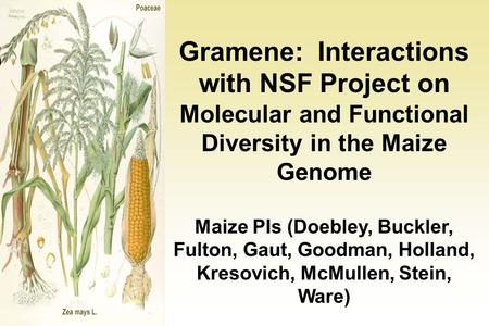 Gramene: Interactions with NSF Project on Molecular and Functional Diversity in the Maize Genome Maize PIs (Doebley, Buckler, Fulton, Gaut, Goodman, Holland,