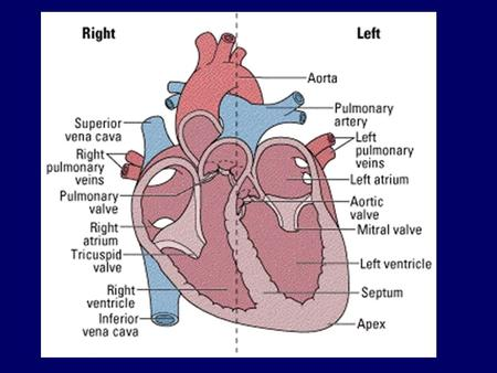Learning objectives E - Label the different parts of the heart C - Describe the heart cycle, including the roles of the SAN, AVN & bundle of His A – Explain.