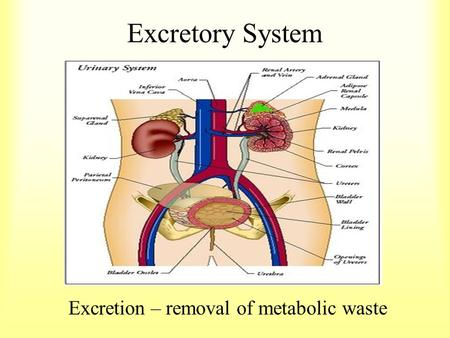 Excretory System Excretion – removal of metabolic waste.