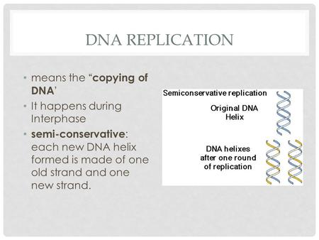 "DNA REPLICATION means the "" copying of DNA ' It happens during Interphase semi-conservative : each new DNA helix formed is made of one old strand and one."