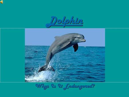 Dolphin Whys Is It Endangered?. Why Its Endangered… HHHHere's a fact: Most of the reasons why the dolphins are endangered is because of the humans!