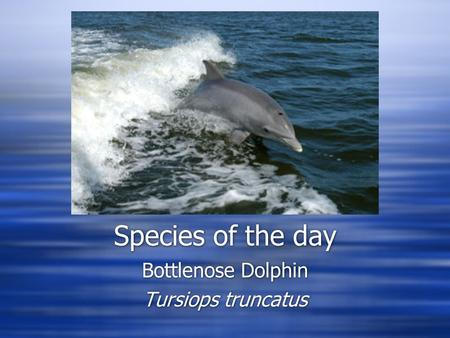 Species of the day Bottlenose Dolphin Tursiops truncatus Bottlenose Dolphin Tursiops truncatus.
