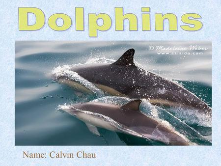 Name: Calvin Chau. Introduction The animal I researched is dolphins. Dolphin is from the group of vertebrates called mammal. I chose dolphins to study,