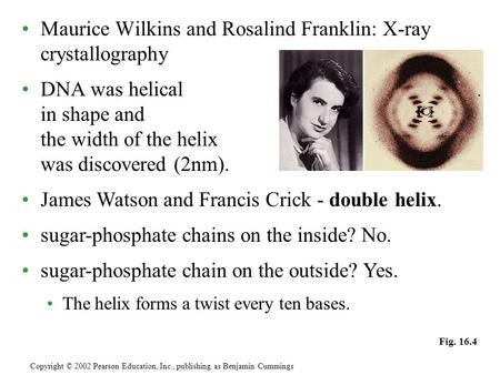 Maurice Wilkins and Rosalind Franklin: X-ray crystallography DNA was helical in shape and the width of the helix was discovered (2nm). Copyright © 2002.
