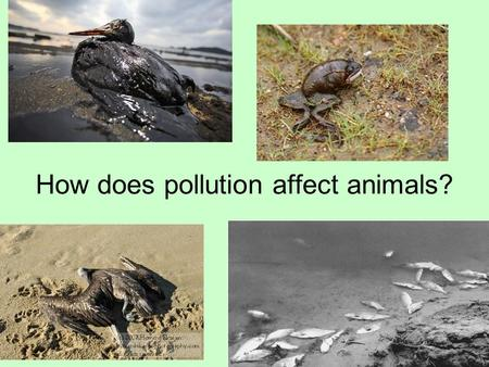 How does pollution affect animals?