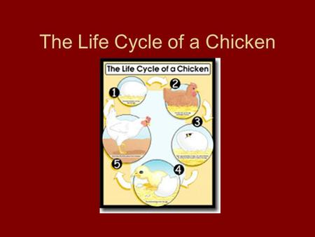 The Life Cycle of a Chicken. First, the hen lays the egg.