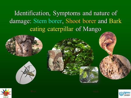 Identification, Symptoms and nature of damage: Stem borer, Shoot borer and Bark eating caterpillar of Mango End Next.
