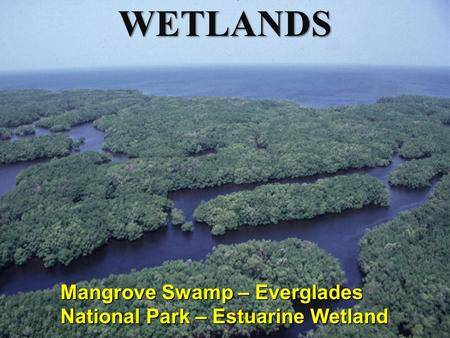 WETLANDS Mangrove Swamp – Everglades National Park – Estuarine Wetland.