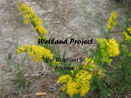 Wetland Project By: Brandon S. Andrew L..