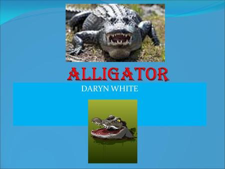 Alligator DARYN WHITE.