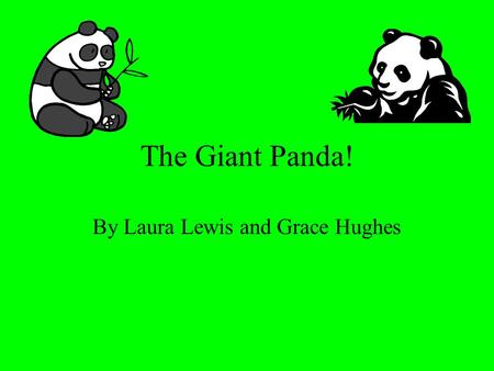 The Giant Panda! By Laura Lewis and Grace Hughes.