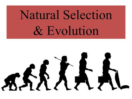 Natural Selection & Evolution. Answer these questions as we go… 1.What island did Charles Darwin research while on the HMS Beagle? 2.What is natural selection?