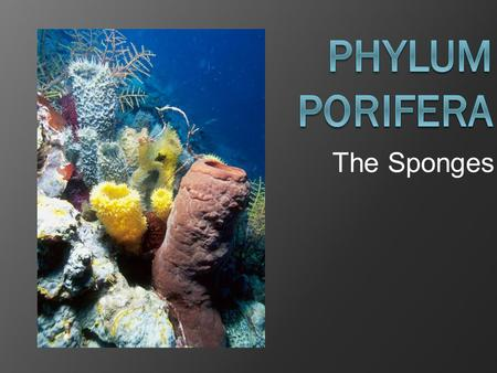 "The Sponges. General Characteristics  Porifera means ""full of holes""  Sponges are the simplest of animals  Live in both freshwater and saltwater. "