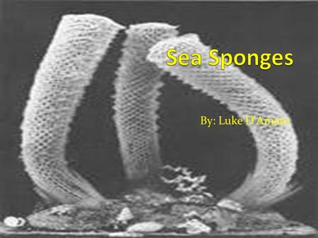 "By: Luke D'Amato. What Do Sponges Look Like? 1/25""-4' Asymmetrical and symmetrical Water enters by incurrent leaves by osculum Get's it color by food."