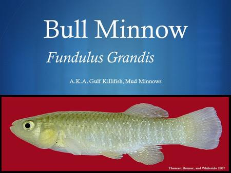  Bull Minnow Fundulus Grandis A.K.A. Gulf Killifish, Mud Minnows.