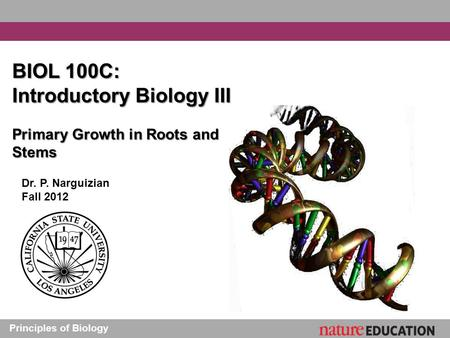 Principles of Biology BIOL 100C: Introductory Biology III Primary Growth in Roots and Stems Dr. P. Narguizian Fall 2012.