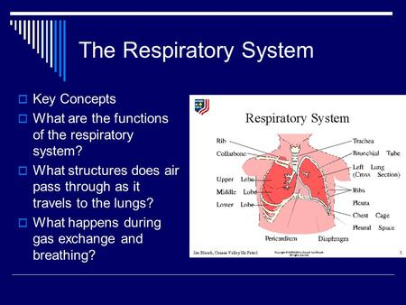 The Respiratory System  Key Concepts  What are the functions of the respiratory system?  What structures does air pass through as it travels to the.