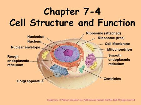 Chapter 7-4 Cell Structure and Function Image from: © Pearson Education Inc, Publishing as Pearson Prentice Hall; All rights reserved Nucleolus Nucleus.