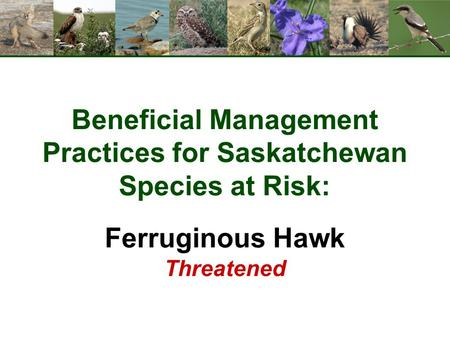 Beneficial Management Practices for Saskatchewan Species at Risk: Ferruginous Hawk Threatened.