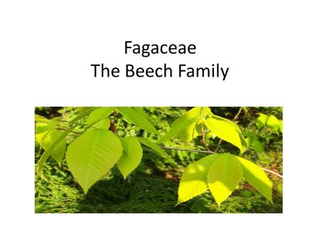 Fagaceae The Beech Family. Fagaceae 9-10 Genera Approx. 900 different species Often dominant forest trees in temperate, subtropical, and tropical areas,