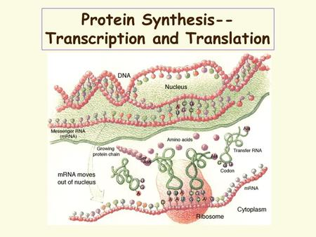 Protein Synthesis-- Transcription and Translation.