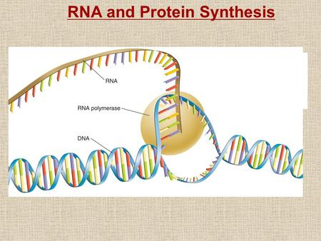 RNA and Protein Synthesis. Genes are coded DNA instructions that control the production of proteins. Genetic messages can be decoded by copying part of.