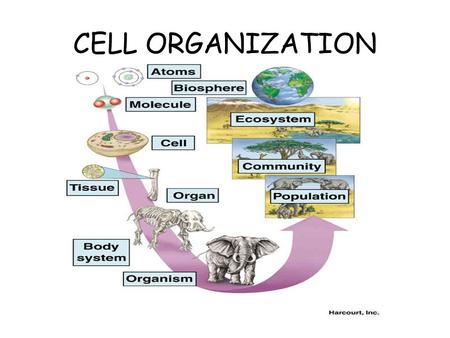 CELL ORGANIZATION. Cell Organization In unicellular (single- celled) organisms, the single cell performs all life functions. It functions independently.