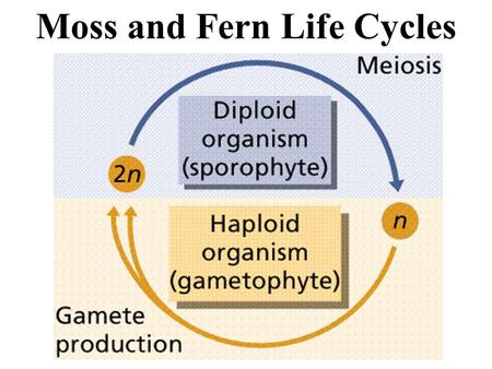 Moss and Fern Life Cycles Group 1: Seedless, Nonvascular Plants Live in moist environments –N–Need water to reproduce Grow low to ground (nonvascular)