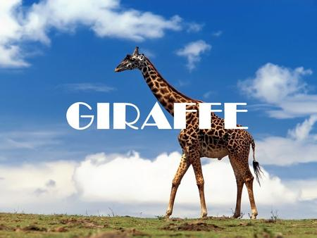 GIRAFFE. What it looks like - The Giraffe is very tall and lanky. -It has very long legs, 1.8 meter long. -It has extremely long neck, also 1.8 meter.