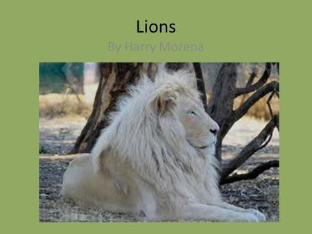 Lions By Harry Mozena. Classification and Description Panthera leo Mammal 550 lbs.,12 ft. long Small legs, baby male no mane.